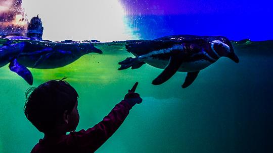 Criança interagindo com os Pinguins no Aquário de Ubatuba através do vidro do tanque