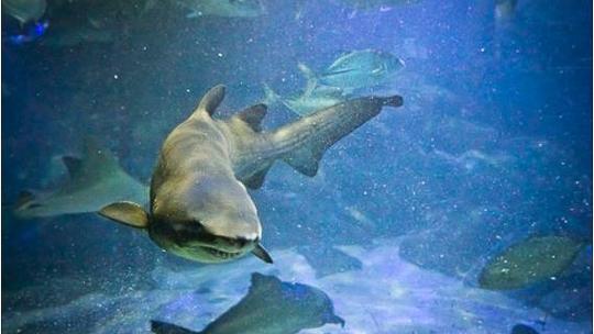 Tubarões e peixes nadando no Tanque Oceânico do Aquário de Ubatuba
